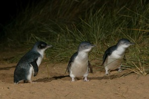The Little Penguins Coming Ashore At Dusk